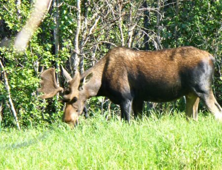 Up Close and Personal with a Moose in Rocky Mountain National Park