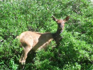 Elk Calf hiding in the Bushes near Sky Pond in RMNP