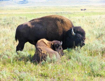 A Surprise Bison Encounter in Yellowstone National Park