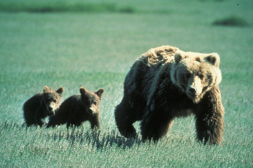 Grizzly Bear with cubs in Glacier National Park