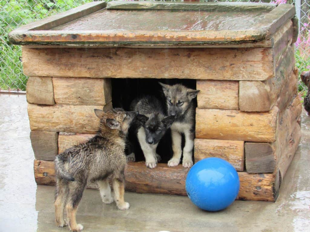 Puppies at the Denali Sled Dog Kennel