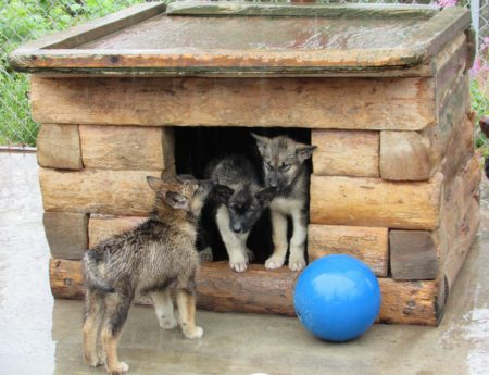 Meet the Energetic Team at the Denali Sled Dog Kennel