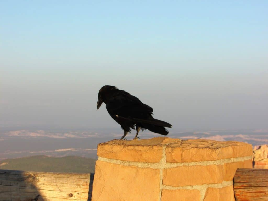 Raven at Agua Canyon Overlook Bryce Canyon Scenic Drive #WalkingTheParks #Raven #ScenicDrive