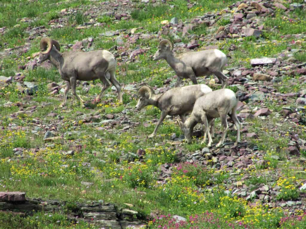 Big Horn Sheep while hiking Hidden Lake Trail Glacier National Park #WalkingTheParks #HiddenlakeGlacier