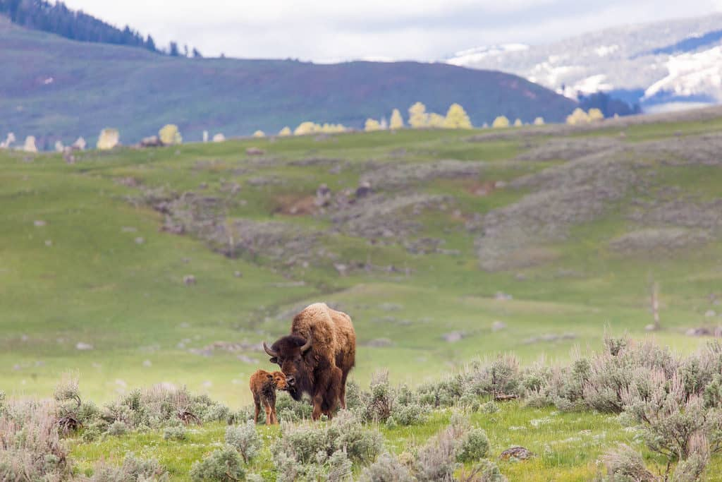 mama and baby bison in Lamar Valley of Yellowstone