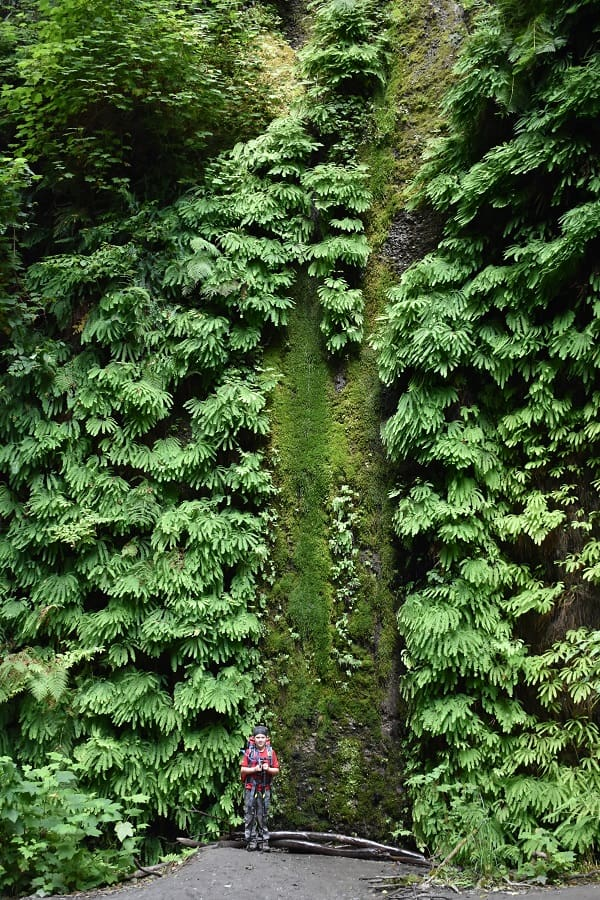 Wall of Ferns in Fern Canyon along James Irvine Trail
