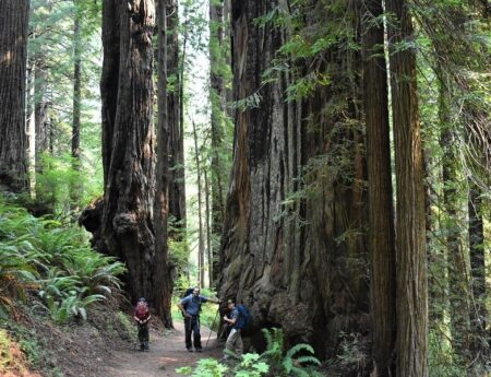 Hike the James Irvine Trail: Fall In Love With The Redwoods