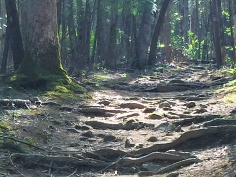The trail to Hen Wallow Falls is full of big roots.