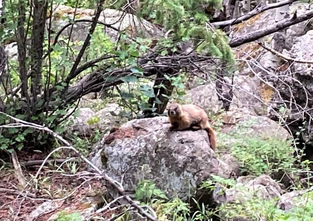 Marmot sitting on a rock along the trail to Cub lake